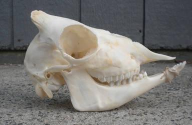 44 Sheep Skull 2 by Minotaur-Queen