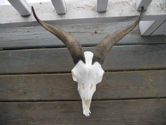 Goat Skull by Minotaur-Queen