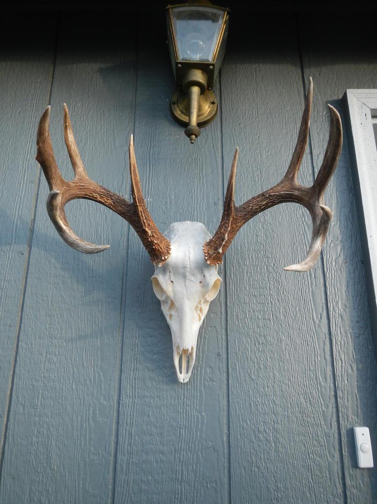 Whitetail Deer Skull by Minotaur-Queen