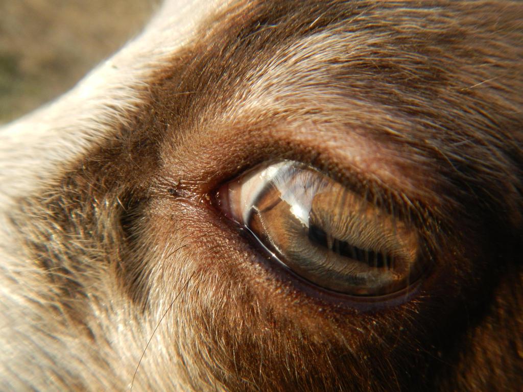 Lamb Eye by Minotaur-Queen on DeviantArt