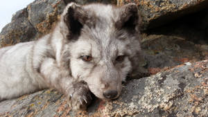 Blue Fox Soft Mount- face