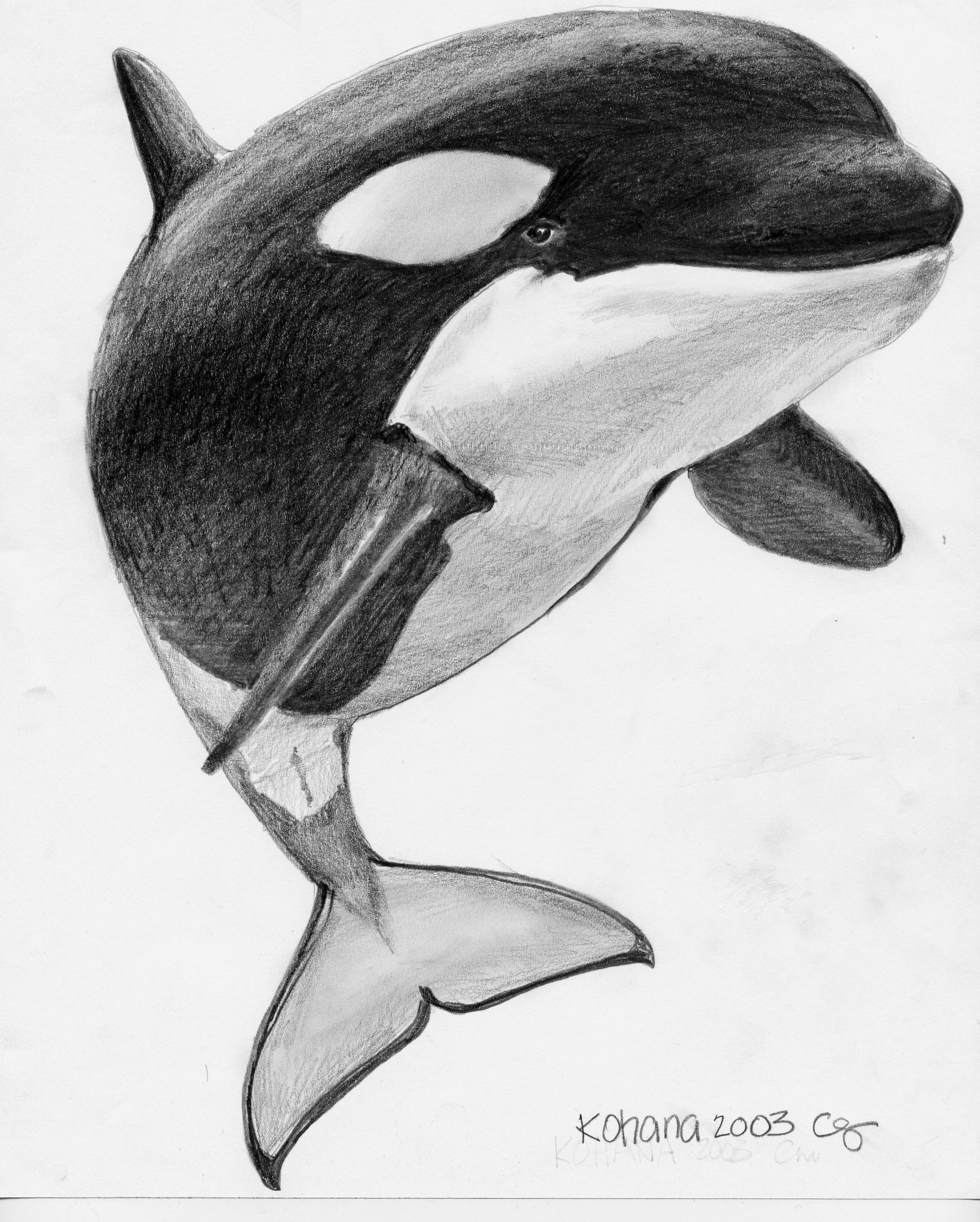 Simple orca drawing