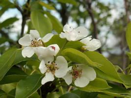 Farm Life 3 Apple Blossoms by Trablex