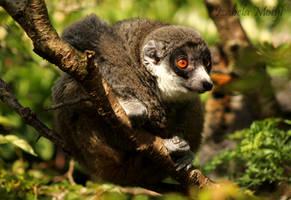 baby lemur by imtl