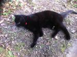 Red collared black cat