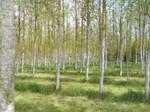 Among The Poplars Alone