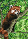 Red Panda in Treetops ACEO by MeredithDillman