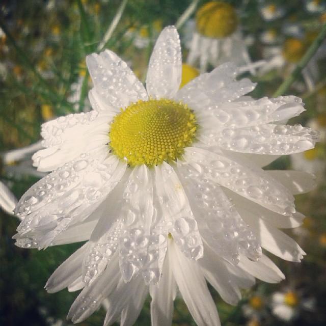 Autumn Daisy by LimboTheLost