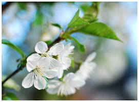 White Tree in blossom by elanordh