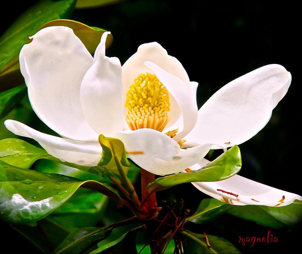 1060 Magnolia