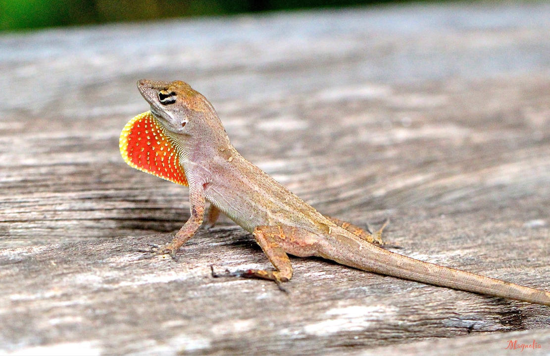 Go Away-Anole by FallOut99