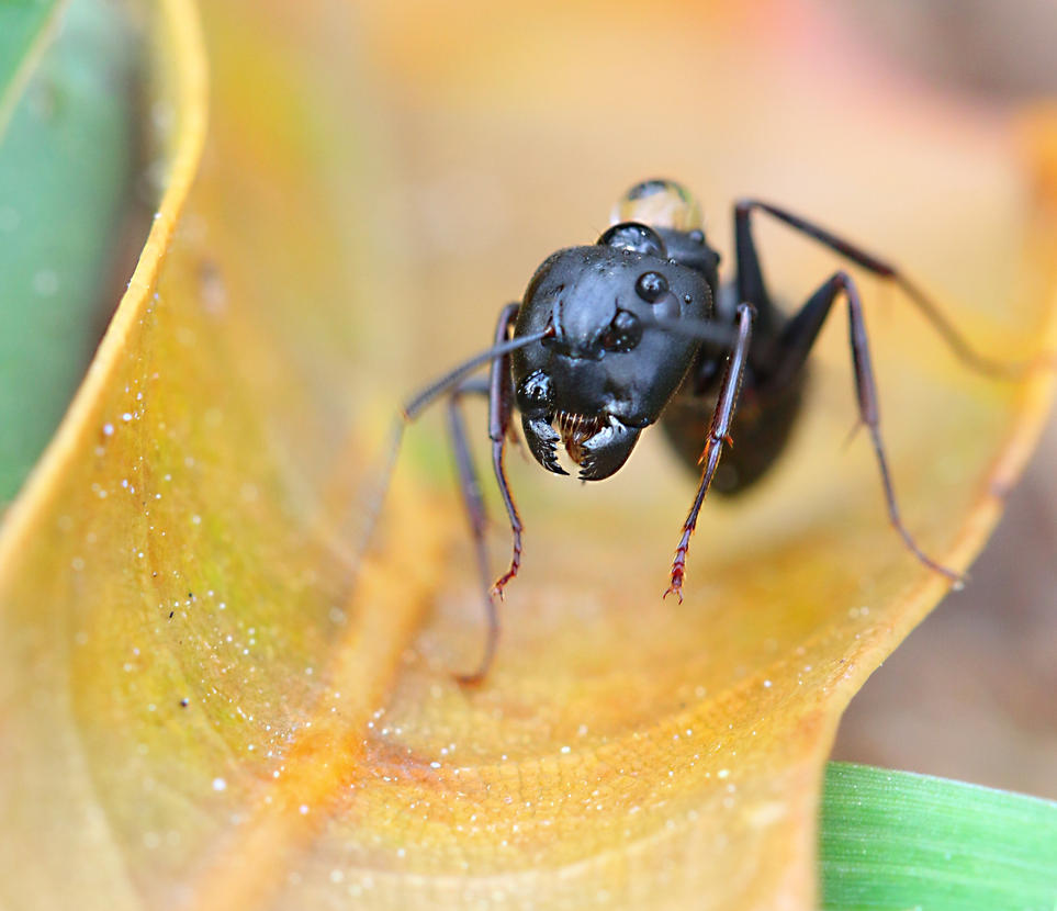 Angry Black Ant by FallOut99