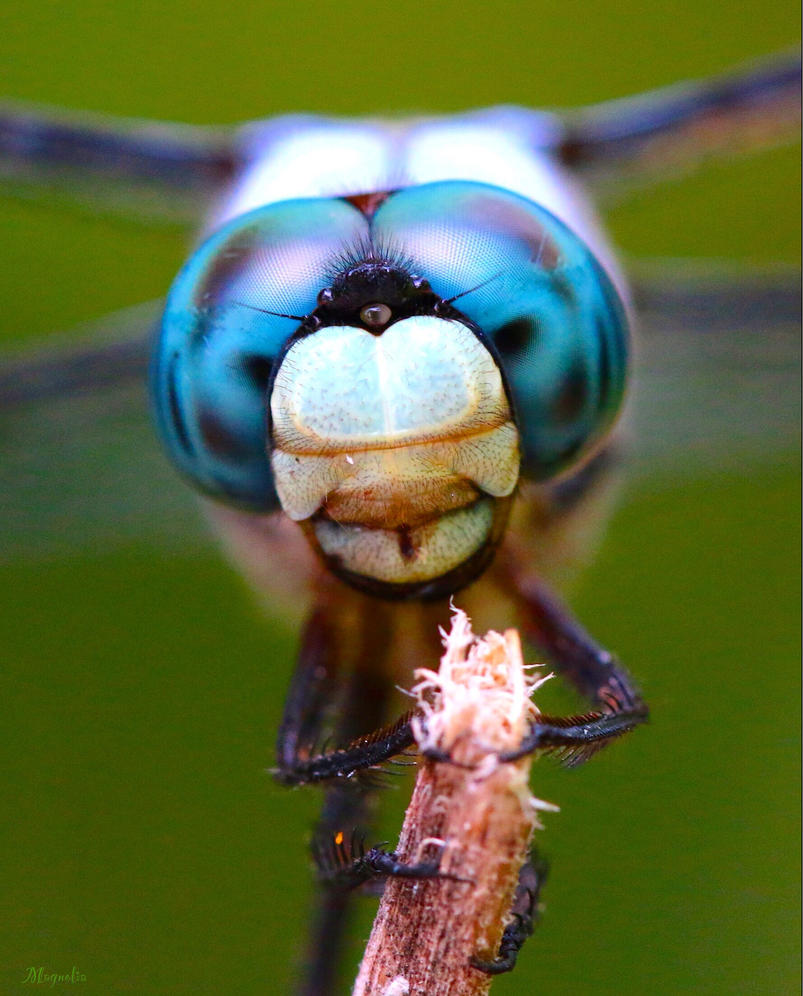 Blue Dasher by FallOut99