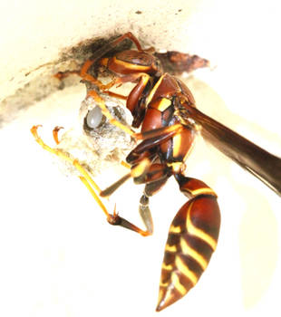 Foundress Wasp Securing Nest Anchor by FallOut99
