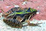 Eastern Cricket Frog II