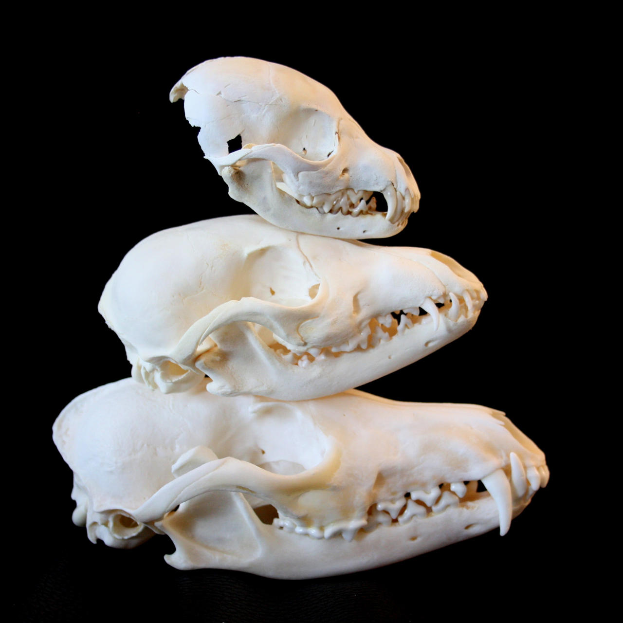 Skulls Comparison 1 By Nimgaraf On DeviantArt