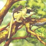Ant lemur (Myrmelemur pumilis)