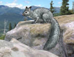 Beringean mountain squirrel(Tamiasciurus beringea)