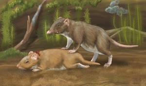 Sabre-toothed shrew (Smilosorex venator)