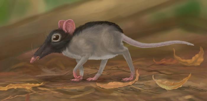 Narrow-faced rat, kiwi rat (Stenorattus aodon)