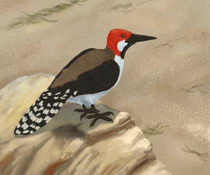 Black-bearded mangrove woodpecker