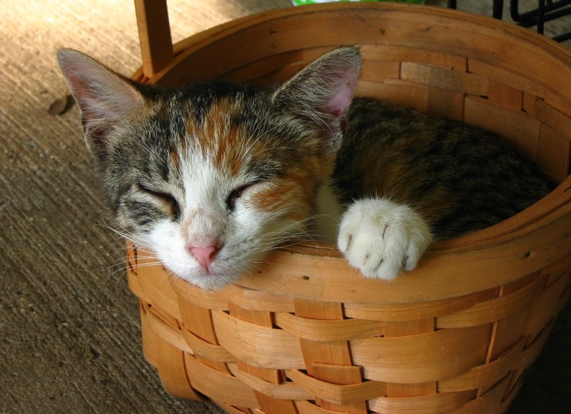 Basket cat 1 by CaptainIcy