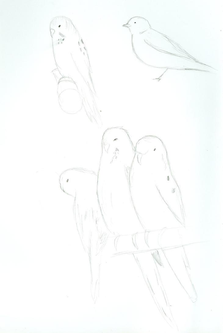 Budgie sketches by Bristolianharpie