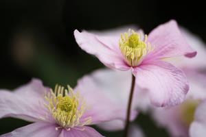 Pink Blossoms by AKrukowska