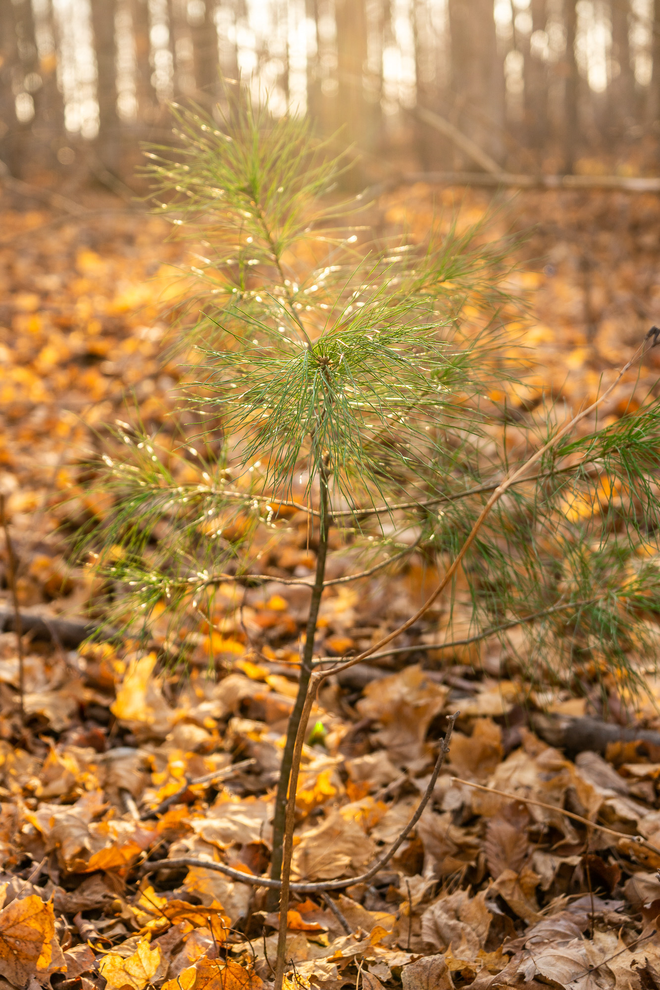 Lonely Evergreen