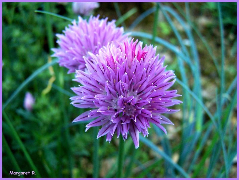 external image Garlic_flower_by_Fiamella.jpg