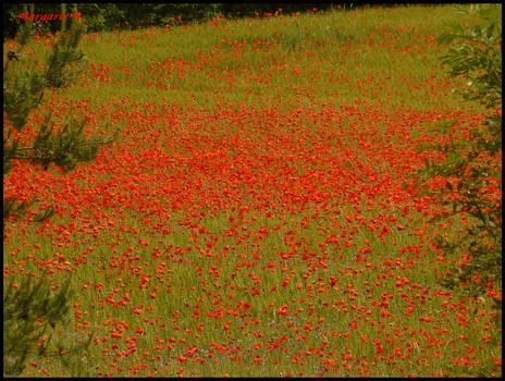 Poppy field with green framing