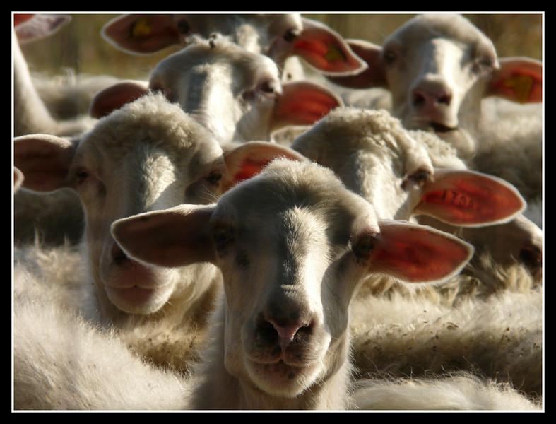 Sheeps look at us by kanes