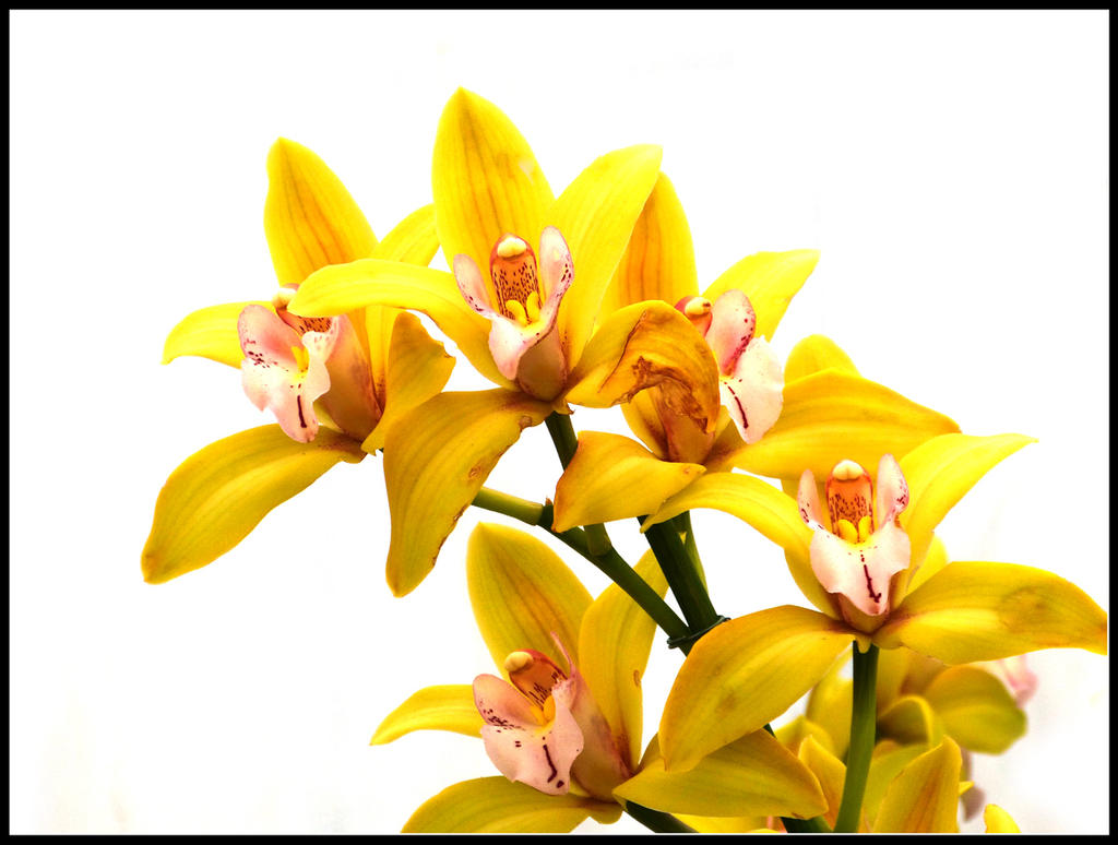 Yellow orchid by kanes on deviantart yellow orchid by kanes mightylinksfo