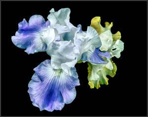 Dancer Iris