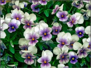 Violets texture