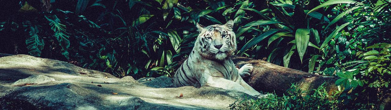 Tigre blanc by YzDock