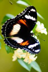 i butterfly