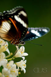 i butterfly II by verdisentani
