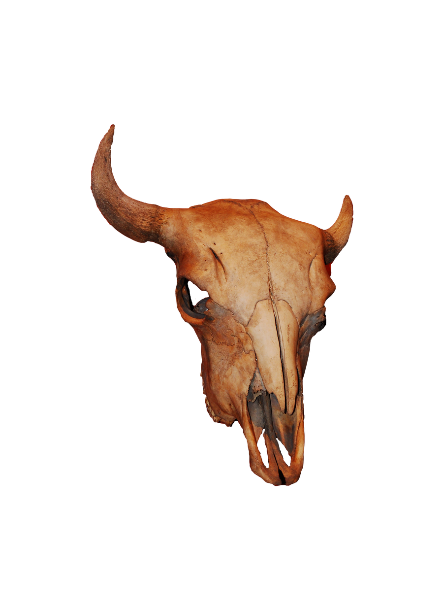 Bison Skull by MLeighS