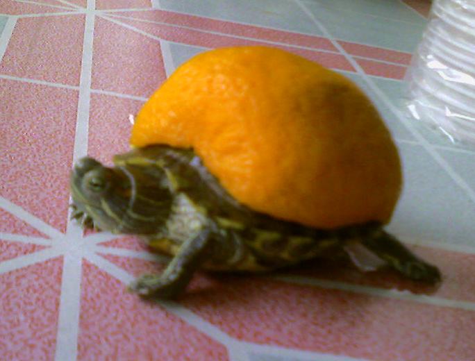is it an orange or a turtle? by NovRoz