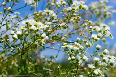 White Flowers by TalesOfAldebaran