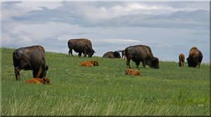 Buffalo in June by Fel2Norak