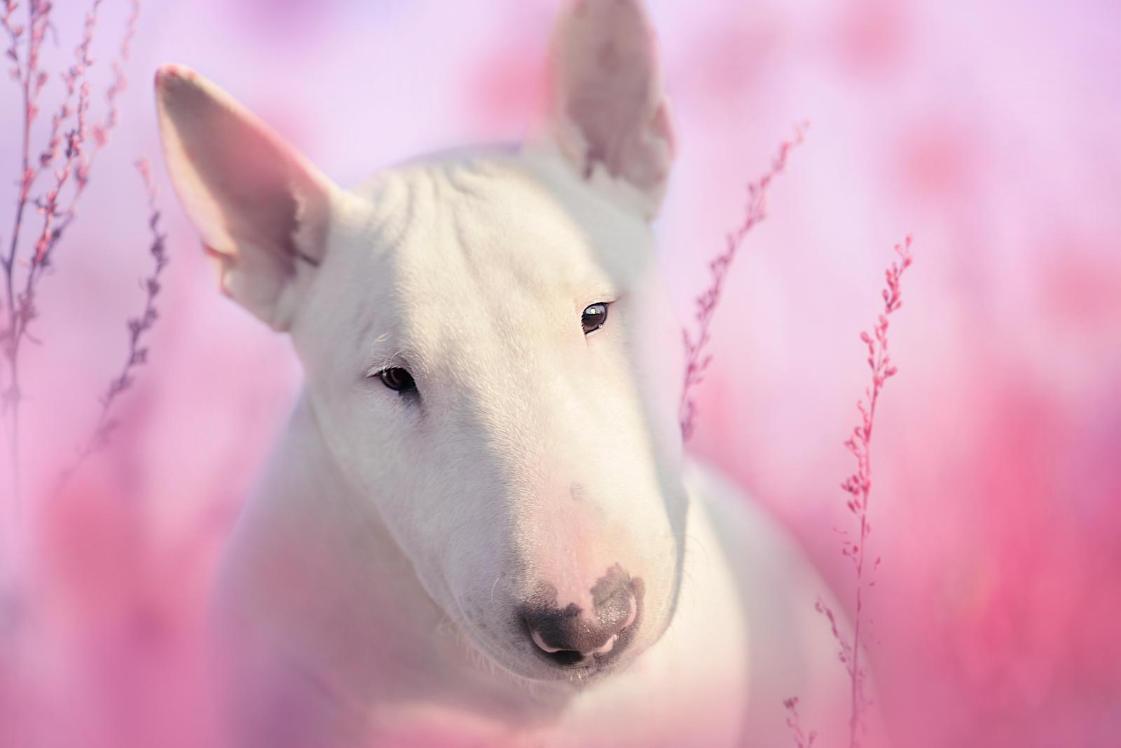 Hermes Pink Bullterrier by Ehinokokus