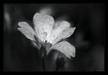Flower by nxxos
