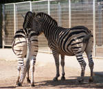 Zebra 14