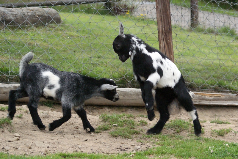 Baby Goats - Playing by gaothaire on DeviantArt