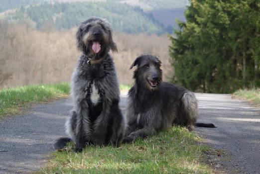 Deerhound and Labradoodle