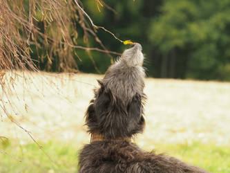 Deerhound by gaothaire