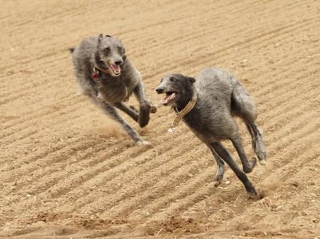 Deerhound running