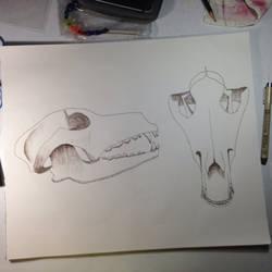 Wolf skull study